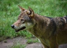 Πορτρέτο λύκων Στοκ Φωτογραφίες