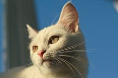 Πορτρέτο μιας άσπρης γάτας αναμμένης από έναν φωτεινό ήλιο ηλιοβασιλέματος Στοκ εικόνα με δικαίωμα ελεύθερης χρήσης