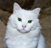 Πορτρέτο μιας άσπρης γάτας με τα πράσινα μάτια στοκ εικόνες