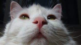 Πορτρέτο μιας άσπρης ικανοποιημένης γάτας, κινηματογράφηση σε πρώτο πλάνο, στο μαύρο υπόβαθρο στοκ φωτογραφίες