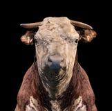Πορτρέτο μιας αγελάδας στο μαύρο υπόβαθρο στοκ φωτογραφίες