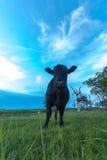 Πορτρέτο μιας αγελάδας Στοκ εικόνες με δικαίωμα ελεύθερης χρήσης