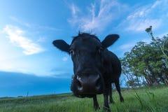 Πορτρέτο μιας αγελάδας Στοκ Εικόνα