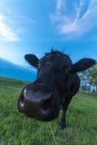 Πορτρέτο μιας αγελάδας Στοκ φωτογραφία με δικαίωμα ελεύθερης χρήσης