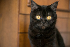 Πορτρέτο μιας γάτας σκωτσέζικα, Shorthair, μάτι Στοκ Εικόνα