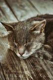 Πορτρέτο μιας γάτας ύπνου Στοκ Εικόνες