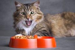 Πορτρέτο μιας γάτας lookinon ένα σύνολο κύπελλων των τροφίμων Στοκ Εικόνες