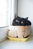Πορτρέτο μιας γάτας Scotish Shorthair Η θέα s-μάτι ` στοκ φωτογραφία