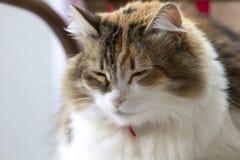 Πορτρέτο μιας γάτας tricolor το κόκκινο περιλαίμιο που χαλαρώνουν με με τις ιδιαίτερες προσοχές στοκ εικόνα