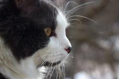 Πορτρέτο μιας γκριζόλευκης κινηματογράφησης σε πρώτο πλάνο γατών, bokeh υπόβαθρο στοκ φωτογραφίες
