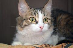 Πορτρέτο μιας γοητευτικής τρεις-χρωματισμένης γάτας στοκ εικόνες