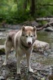 Πορτρέτο μιας ελεύθερης σιβηρικής γεροδεμένης υπεράσπισης φυλής σκυλιών την όχθη ποταμού Το σκυλί στέκεται στο νερό στο δάσος Στοκ φωτογραφίες με δικαίωμα ελεύθερης χρήσης
