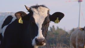 Πορτρέτο μιας ενιαίας κερασφόρου γραπτής αγελάδας απόθεμα βίντεο