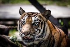 Πορτρέτο μιας επιφυλακής και να κοιτάξει επίμονα τιγρών στη κάμερα στοκ εικόνες