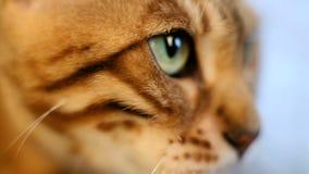 Πορτρέτο μιας κακής γάτας απόθεμα βίντεο