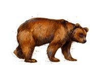 Πορτρέτο μιας καφετιάς αρκούδας από έναν παφλασμό του watercolor διανυσματική απεικόνιση
