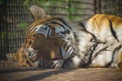 Πορτρέτο μιας κινηματογράφησης σε πρώτο πλάνο τιγρών ύπνου στοκ εικόνες