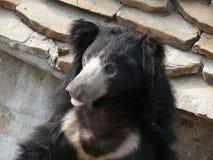 Πορτρέτο μιας κινηματογράφησης σε πρώτο πλάνο αρκούδων Στοκ Εικόνες