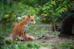 Πορτρέτο μιας κόκκινης αλεπούς Vulpes vulpes Στοκ Φωτογραφίες