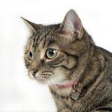 Πορτρέτο μιας λατρευτής τιγρέ γάτας Στοκ φωτογραφίες με δικαίωμα ελεύθερης χρήσης