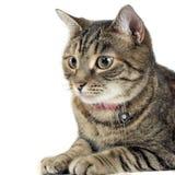 Πορτρέτο μιας λατρευτής τιγρέ γάτας Στοκ φωτογραφία με δικαίωμα ελεύθερης χρήσης