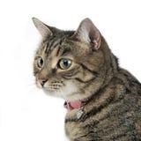 Πορτρέτο μιας λατρευτής τιγρέ γάτας Στοκ Φωτογραφίες