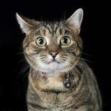 Πορτρέτο μιας λατρευτής τιγρέ γάτας Στοκ εικόνες με δικαίωμα ελεύθερης χρήσης