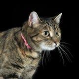 Πορτρέτο μιας λατρευτής τιγρέ γάτας Στοκ Εικόνες