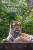Πορτρέτο μιας μεγάλης τίγρης στο ζωολογικό κήπο στοκ φωτογραφία με δικαίωμα ελεύθερης χρήσης