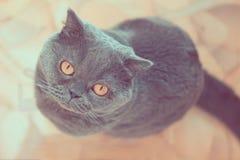 Πορτρέτο μιας μπλε βρετανικής γάτας με τη μεγάλη κινηματογράφηση σε πρώτο πλάνο ματιών στοκ φωτογραφίες