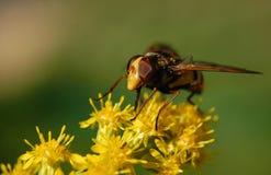 Πορτρέτο μιας μύγας ενός zhurchalka Στοκ Φωτογραφίες