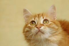 Πορτρέτο μιας νέας γάτας Στοκ Εικόνα