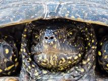 Πορτρέτο μιας νυσταλέας δυσαρεστημένης χελώνας ελών στοκ φωτογραφίες