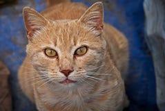 Πορτρέτο μιας πορτοκαλιάς γάτας υπαίθριας Στοκ Εικόνες