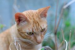 Πορτρέτο μιας πορτοκαλιάς τιγρέ γάτας Στοκ Εικόνα