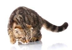 Πορτρέτο μιας ριγωτής γάτας Στοκ φωτογραφία με δικαίωμα ελεύθερης χρήσης