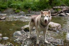 Πορτρέτο μιας σιβηρικής γεροδεμένης υπεράσπισης φυλής σκυλιών την όχθη ποταμού Το σκυλί στέκεται στο νερό στο δάσος Στοκ εικόνα με δικαίωμα ελεύθερης χρήσης