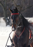 Πορτρέτο μιας σκοτεινής φυλής αλόγων κόλπων trotter στη πίστα αγώνων Στοκ φωτογραφίες με δικαίωμα ελεύθερης χρήσης