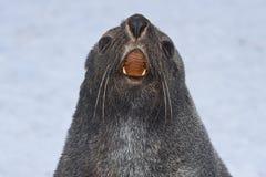 Πορτρέτο μιας σφραγίδας γουνών αυτή Στοκ Εικόνες