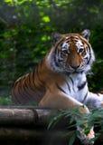 Πορτρέτο μιας τίγρης που εξετάζει τη φωτογραφική μηχανή Στοκ Εικόνες