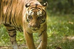 Πορτρέτο μιας τίγρης στοκ εικόνα με δικαίωμα ελεύθερης χρήσης