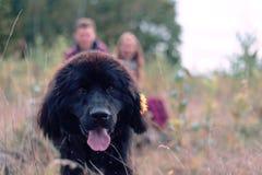 Πορτρέτο μιας φυλής νέα γη σκυλιών Στοκ φωτογραφία με δικαίωμα ελεύθερης χρήσης