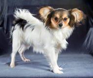 Πορτρέτο μιας φυλής Papillon σκυλιών έξι μηνών Στοκ Φωτογραφίες
