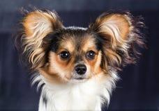 Πορτρέτο μιας φυλής Papillon σκυλιών έξι μηνών Στοκ Εικόνες