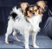 Πορτρέτο μιας φυλής Papillon σκυλιών έξι μηνών Στοκ εικόνα με δικαίωμα ελεύθερης χρήσης