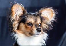 Πορτρέτο μιας φυλής Papillon σκυλιών έξι μηνών Στοκ εικόνες με δικαίωμα ελεύθερης χρήσης