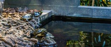 Πορτρέτο μιας χελώνας ολισθαινόντων ρυθμιστών του Cumberland από την πλευρά νερού, δύο άλλες χελώνες στο υπόβαθρο, τροπικά κατοικ στοκ φωτογραφίες με δικαίωμα ελεύθερης χρήσης