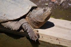 Πορτρέτο μιας χελώνας Στοκ Εικόνες