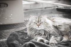 Πορτρέτο μιας όμορφης καφετιάς χνουδωτής σιβηρικής γάτας στοκ φωτογραφία με δικαίωμα ελεύθερης χρήσης