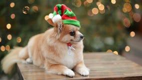 Πορτρέτο νάνο Spitz Το χαριτωμένο σκυλί βρίσκεται στην αγορά Χριστουγέννων Αστείο σκυλί με το καπέλο Santa φιλμ μικρού μήκους